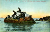 1128. Sea Lions on Seal Rocks near the Cliff House, San Francisco, California